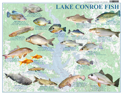 Lake conroe texas fish lake conroe map for Freshwater fish in texas